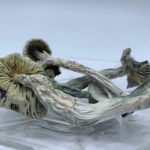 albino-Cubensis-bcweedonline-magic-shroom