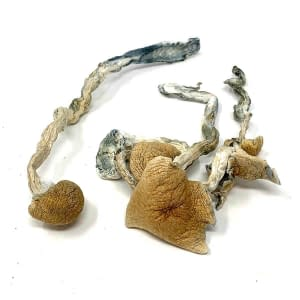 golden-teachers-magic-mushrooms-bccweedonline