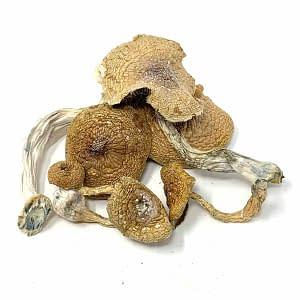 transkei-cubensis-african-mushrooms-bcweedonline
