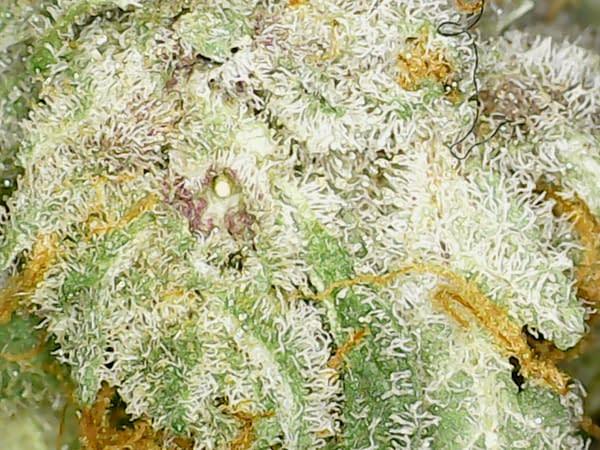 tangerine-dream-sativa-bcweedonline-strain-micro