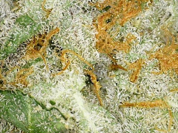 tangerine-dream-sativa-bcweedonline-strain-micro-zoomin