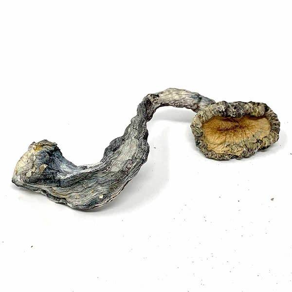 blue-meanie-magics-mushrooms--bcweedonline