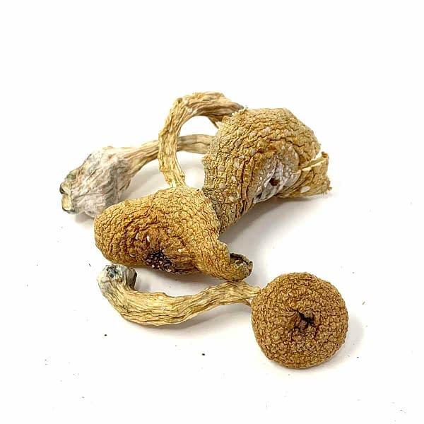 transkei-cubensis-african-mushrooms-bcweedonline-sale